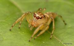 Jumping spider, Amycus sp., Salticidae (Ecuador Megadiverso) Tags: andreaskay arachnida ecuador jumpingspider mindo salticidae spider amycus