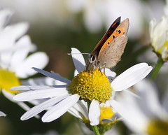 Small Copper (Lycaena phlaeas) (MarkWalpole) Tags: smallcopper lycaenaphlaeas butterfly saltholme rspb uk ef400mmf56lusm canoneos7dmarkii