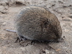 Short-tailed Field Vole (The Treerunner) Tags: beachroad shorttailedfieldvole