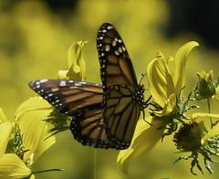 MonarchButterfly_SAF6938 (sara97) Tags: danausplexippus butterfly copyright©2018saraannefinke endangered missouri monarch monarchbutterfly nature photobysaraannefinke pollinator saintlouis towergrovepark