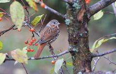 "***  Fox Sparrow "" (ricketdi) Tags: bruantfauve foxsparrow passerellailiaca coth5 sunrays5 ngc"