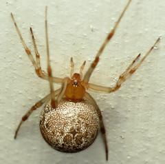 bug of the day - Arachtober! (urtica) Tags: framinghamma framingham ma massachusetts usa bugoftheday night arachtober arachnid arachnida theridiidae spider cobwebspider