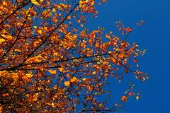 Blues sky, golden leaves. (alanpitman703) Tags: scotland ardrishaig october argyll