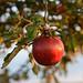 Roter reifer Apfel