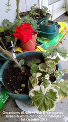 Geraniums (Brilliant red) & Variegated Green & white cuttings on balcony 1st October 2018 (D@viD_2.011) Tags: geraniums brilliant red variegated green white cuttings balcony 1st october 2018