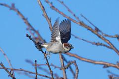 Common sparrow (DanD_NZ) Tags: sparrow takingflight nikond500 nikkor200500mmf56 bif birds newzealand waikato