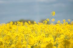 _DSC0984 (gael.lebrun56) Tags: fleur colza rape beez flower macro insect