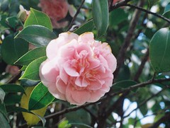 A Camellia flower (Matthew Paul Argall) Tags: minolta110zoomslrmarkii manualfocus 110 110film subminiaturefilm lomographyfilm 200isofilm flower flowers camellia