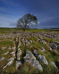 Ash dieback (images@twiston) Tags: malham ash dieback fungus chalara lonesome loner thesolitarytree solitary standing tree limestone pavement malhamdale grikes clints grykes northyorkshire yorkshire limestonepavement lonetree bleak stark fell rock rocks gnarled gnarly dales landscape national park yorkshiredalesnationalpark fields grass moors moorland moor ultrawide wide angle godsowncountry godsowncounty nisi gnd grad