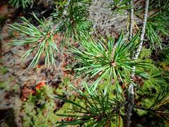Pino silvestre o albar (Pinus sylvestris) (quintanAopio) Tags: árbol silvestre caderechas bureba burgos