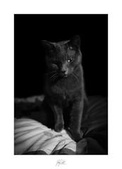 Midnight pose #2 (AnthonyCNeill) Tags: cat chat katze gato black white schwarz weiss blanco negro noir blanc mono monochrome fuji fujifilm x100f acros lowkey clavebaja