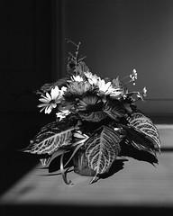 Morning Arrangement (Tim Roper) Tags: 4xr5 tx320 dilutione film flowers hc110 intrepid large format fujinon 135mm blackandwhite still life analog kodak