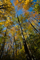 Fall vertigo (Rabican-BUSY) Tags: northnh newengland newhampshire theflume flumegorge hiking trail walking nature forest colorful lookingup sky fallfoliage trees tree branch