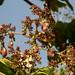 Togo cashews