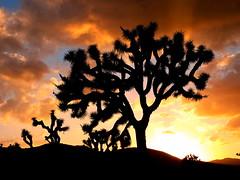 Joshua Tree National Park Sunset (moonjazz) Tags: sunset desert california joshuatreenationalpark color silhouette sky moonjazz trees geography landscape gold vivid strange beautiful vast classic amazing shapes sun twilight plants orange pastel clouds