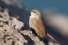Bandurrilla de Pico Recto (ik_kil) Tags: bandurrilladepicorecto straightbilledearthcreeper ochetorhynchusruficaudus embalseelyeso regiónmetropolitana avesdechile birds chile