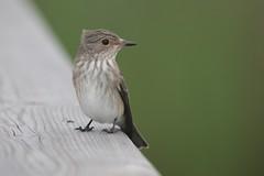 Taralhão-cinzento // Muscicapa striata // Spotted flycatcher (Jangada2011) Tags: taralhãocinzento muscicapastriata spottedflycatcher