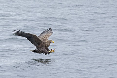 Sea Eagles (boogie1670) Tags: canon 5d mark iv sigma 150600mm sports lens sea eagles seabirds wild britishbirds british wildlife raptors birds prey