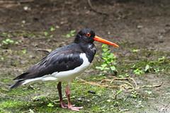 BECCACCIA DI MARE    ----    OYSTERCATCHER (cune1) Tags: uccelli birds animali animals acqua water natura nature parcodelticino italia