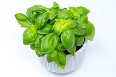 Basil plant in white pot (verchmarco) Tags: stockphotography leaf blatt noperson keineperson basil basilikum nature natur isolate isolieren flora ingredients zutaten health gesundheit freshness frische food lebensmittel cooking kochen closeup nahansicht disjunct disjunkt healthy gesund spice würzen desktop herb kraut growth wachstum nutrition ernährung vegetable gemüse texture paysage foliage usa day star eos selfie long sunny