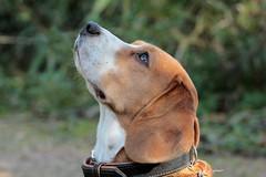 GUUS (K.Verhulst) Tags: guus beagle hond dog pet huisdier ommoordseveld coth coth5
