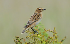 DSC8160  Whinchat... (jefflack Wildlife&Nature) Tags: whinchat chats chat birds avian animal animals wildlife wildbirds wetlands wildlifephotography moorland moors heathland hedgerows heathlands heaths summermigrant songbirds jefflackphotography countryside nature