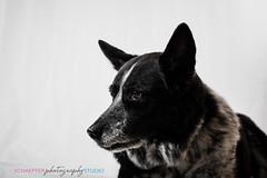 The Commander 3 (teresaschaefferphoto) Tags: pet photography portrait portraits animal dogs dog pugs pug cattle blue heeler blueheeler cattledog petportrait dogportrait blackandwhtie black white