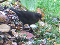 blackbird female hunting (river crane sanctuary) Tags: blackbird female rivercranesanctuary