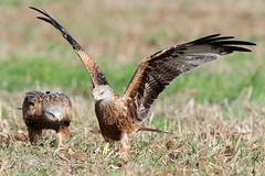 Red Kite feeding Oct 2018 (explore) (jgsnow) Tags: purple bird raptor kite redkite ground