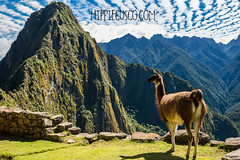Llama  Machu Picchu ruins peruvian Andes Cuzco Peru. HippieCusco (Hippie Cusco) Tags: andean andes archeology cusco cuzco huaynapicchu incas lamaglama machupicchu peru peruvians scenics ancient animals architecture famousplaces historic landmarks llama mammals mountains nature old ruins travel urubambavalley valley pérou sacredvalley viajar viajes seekmoments travelmore adventureseeker doyoutravel hippiecusco experiences awesome fun travellifestyle