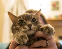 Soft paws (jonasflanken) Tags: equipment camera nikond800e animal mammal tabby cat dslr