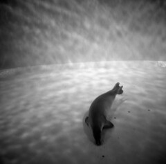 sea-lion (kaumpphoto) Tags: rolleiflex 120 tlr bw black white water sealion mammal swim dive animal fin nose