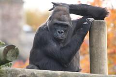 """I'm a little teapot, short and stout, here's my handle... (charliejb) Tags: bristolzoo zoo wildlife westernlowlandgorilla gorillagorilla gorilla fur furred furry 2018 mammal greatape ape bristol clifton"