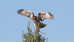 Red-tailed hawk balanced on spruce ((nature_photonutt) Sue) Tags: redtailedhawk juvenile balancingact betweensaultstemarieandironbridge ontariocanada