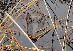 Mama Gator guarding her nest at Gator Nest Pond in Brazoria National Wildlife Refuge.  (10/22/2018) (stalnakerjack) Tags: texas brazorianationalwildliferefuge wildlife reptiles gator alligator alligators