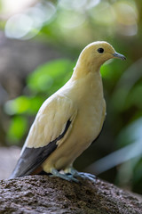 Yellowish Imperial Pigeon (billcoo) Tags: bokeh 6d2 6dii 2 nature bismarck yellow tinted