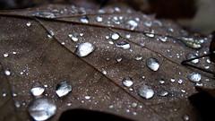 Raindrops on a fallen leaf. (ALEKSANDR RYBAK) Tags: капли дождь вода прозрачность крупные мелкие осень сезон погода природа лес макро крупный план drops rain water transparency large small autumn season weather nature forest macro closeup