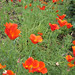 Red Poppies – Red Moon Sanctuary, Redmond, Western Australia