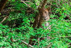 Copyright © Vikipics-DSC_0662 (vikasithad) Tags: leopard yala nationalpark srilanka kotiya panthera wildlife animals