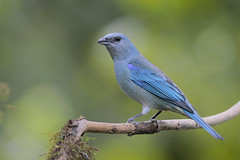 Azure-shouldered Tanager (Greg Lavaty Photography) Tags: azureshoulderedtanager thraupiscyanoptera brazil august saopaulo atlanticforest montaneforest tanager outdoors bird nature wildlife