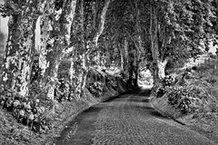 Country Road - São Miguel Island, Portugal (mikederrico69) Tags: lush blackandwhite bw country nature portugal azores island trees relaxation road flowers panaramic tropic travel tropical sao miguel botanical caldeira europe park vegetation summer exploration plants scenic view vacation