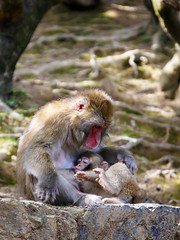 Japanese Macaque Feeding (Synghan) Tags: japanesemacaque macaque snowmonkey monkey feeding vertical photography outdoor colourimage fragility freshness nopeople foregroundfocus adjustment interesting awe wonder fulllength depthoffield two 2 fur macaca ape behaviour mum baby iwatayama arashiyama bright nature natural wild wildlife animal travel destination attraction local regional trip tourism journey day sunlight canon eos80d 80d sigma 1770mm f284 dc macro lens 일본 원숭이 일본원숭이 교토 kyoto