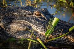 American Alligator (tshabazzphotography) Tags: animals nature wildlife mothernature alligator heron florida tropical tropics closeup depthoffield orlando lake apopka drive hunter canon sunrise mornings hiking explore outdoors animal