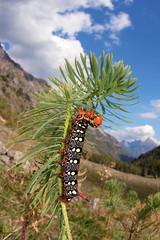 Hyles euphorbiae - caterpillar (Gabriele Carabus Motta) Tags: spurge hawk moth sfingedelleuforbia falena mountain alps autumn wide angle macro nature insect