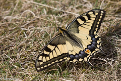 Tenue camouflage ! (Remnaeco35) Tags: pentaxk1 papillon butterfly couleurs