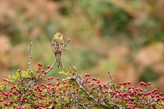 Yellowhammer - Soar Devon (Martin F Hughes) Tags: martin hughes canon 7d mkii mk2 birds birdwatching birding devon soar bunting yellowhammer