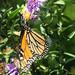 Monarch - Monarque