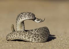 Western Diamondback Rattlesnake (Tomingramphotography.com) Tags: desert western diamondback rattlesnake arizona
