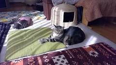 Unconcerned with Aftershocks (sjrankin) Tags: 5october2018 edited animal cat bonkers argent tigger floor livingroom sun sunlight sunbeam shadows chigura kitahiroshima hokkaido japan