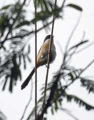 Long-tailed Shrike, Lanius schach, Сорокопут длиннохвостый (nikolayloginov) Tags: longtailedshrike laniusschach сорокопутдлиннохвостый
